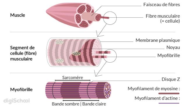 Organisation d'une fibre musculaire