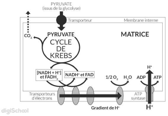 Le cycle et la chaine respiratoire dans la mitochondrie