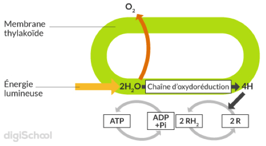 Phase photochimique de la photosynthèse