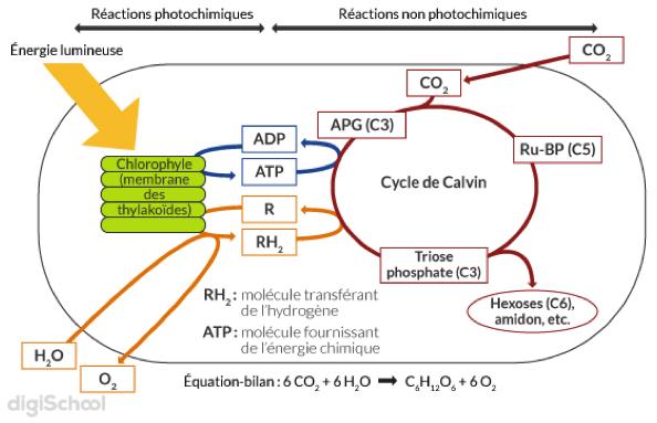 Les réactions lors des deux phases de la photosynthèse