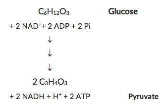 Bilan simplifié de la glycolyse