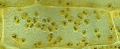 Chloroplastes et feuilles d'elodee