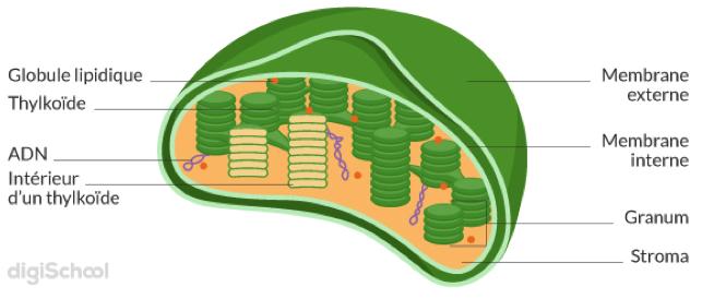 Représentation schématique d'un chloroplaste